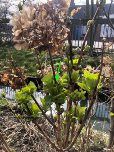 knip uitgebloeide hortensia bloemen af